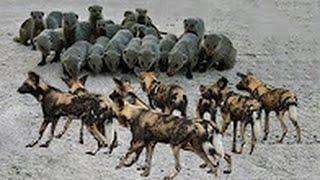 Мангуст против собаки. Отважный маленький мангуст спасает семью от гиеновидных собак / Редкие кадры