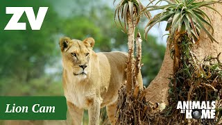 Preview of stream Lions Cam in Werribee Open Range Zoo, Australia