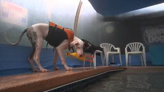 6 Month Old Great Dane Puppy Boomer Learning To Swim Interacts With Dog Toy Chicken