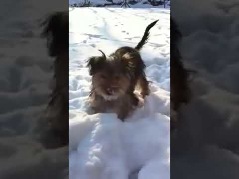 Beau the Silky Terrier is having fun in the snow, what a fun she have.