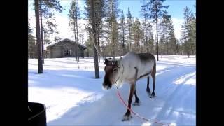 フィンランドでトナカイのソリに乗りました.