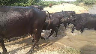 Can you see like video & bhains swimming pool