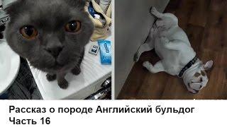 Английский бульдог. Часть 16. Кошка с собакой в одном доме