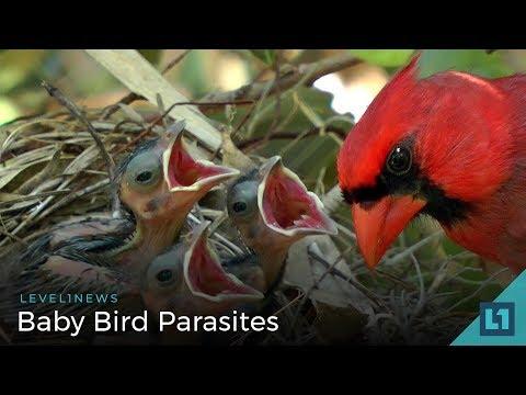 level1-news-june-12-2018:-baby-bird-parasites