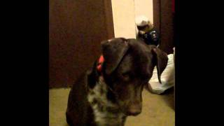 German Shorthaired Pointer Mix's Version Of A Fist Pump