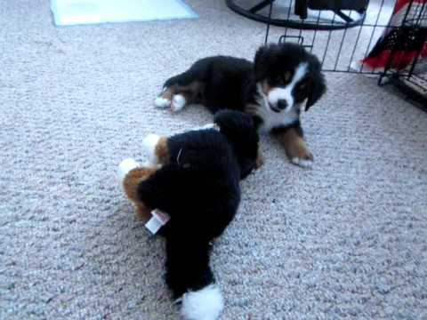 Bernese Mountain Dog Puppy Gracie Playing With Stuffed Animal