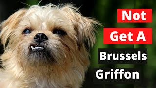 Why you Shouldn't get a Brussels Griffon ( 6 Reasons )
