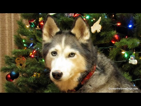 Dogs Help Put up the Christmas Tree 2011 - Shiloh and Shelby Siberian Husky Jingle Dogs