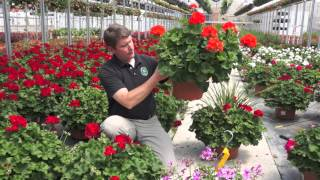 Westwood Grown Geraniums