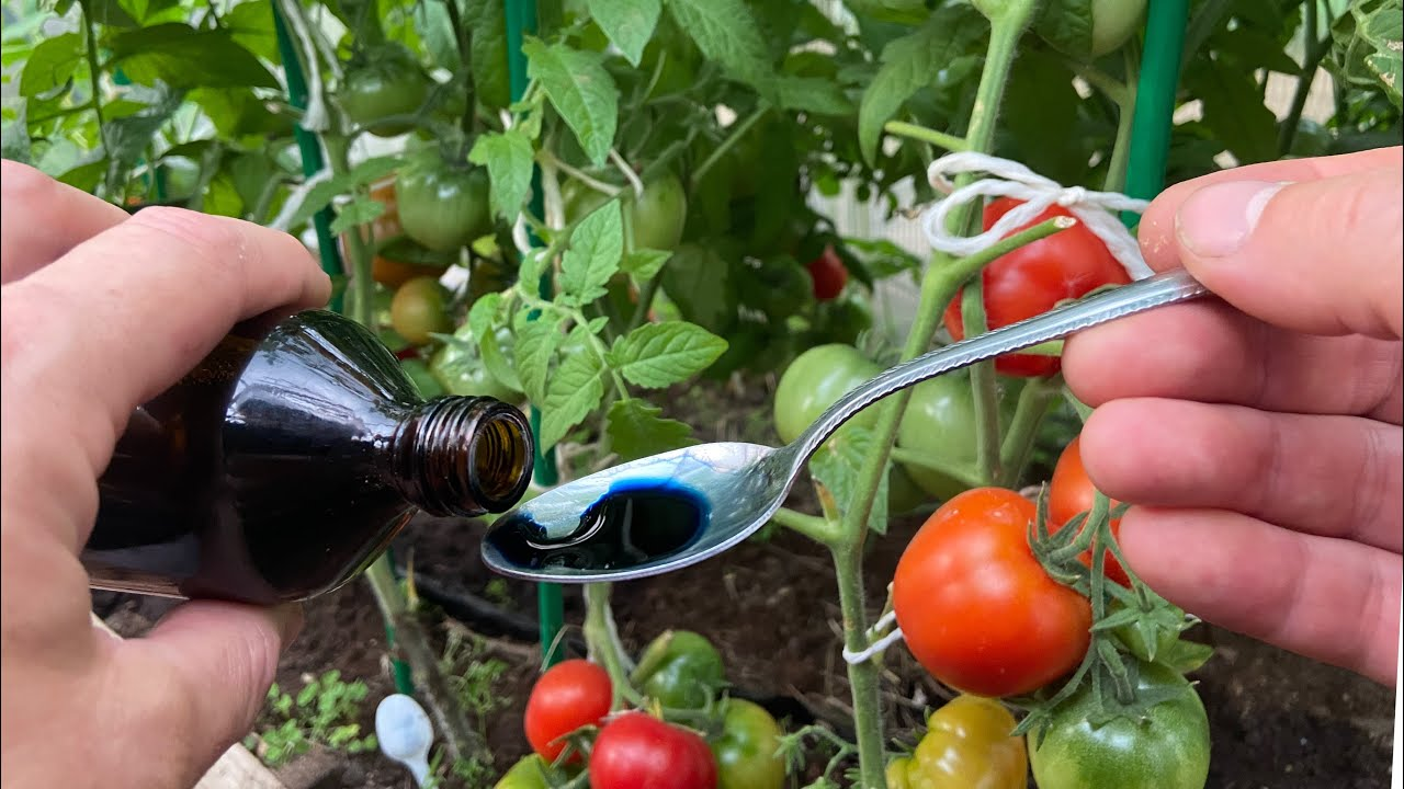 Лучшее копеечное средство для томатов от всех болезней