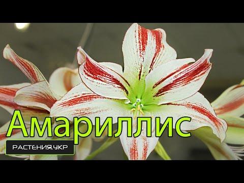 Гиппеаструм: все нюансы ухода за цветком в домашних