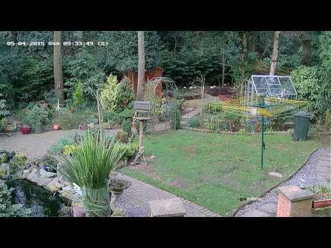Heron Taking Fish From Garden Pond (CCTV)