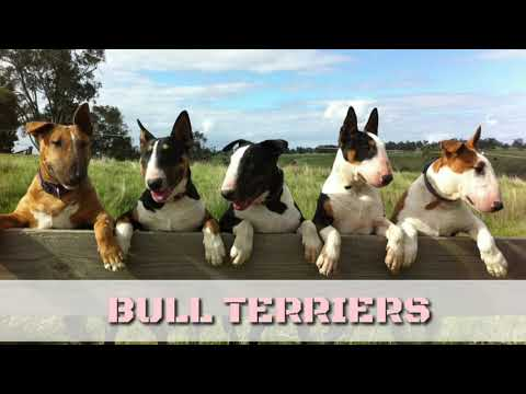 RARE: BULL TERRIER Puppies for Sale in India. Bull Terrier Pup Video with Mother & Father