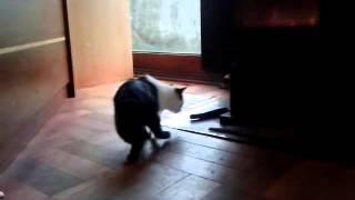 """gato-conejo o """"ganejo"""" en Maull�n, Chile"""