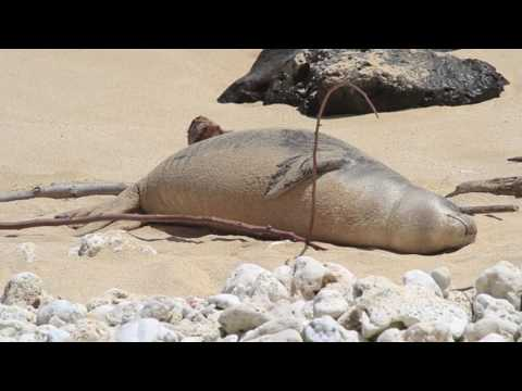 Hawaiian Monk Seals - Kainalu playing with drift wood