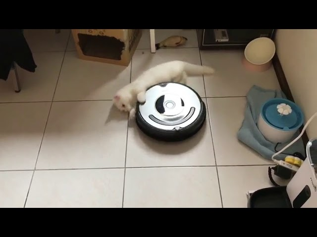 Spinning Cat – 988951