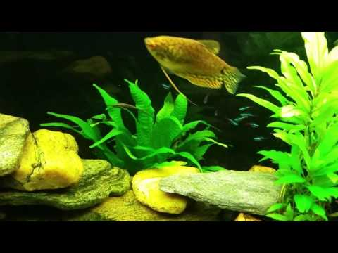Twig Catfish (Farlowella) Aka Whiptail Catfish