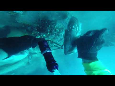 Spearfishing,  Bull Sharks On The Surface Get Stringer Gulf Of Mexico Tampa Bay