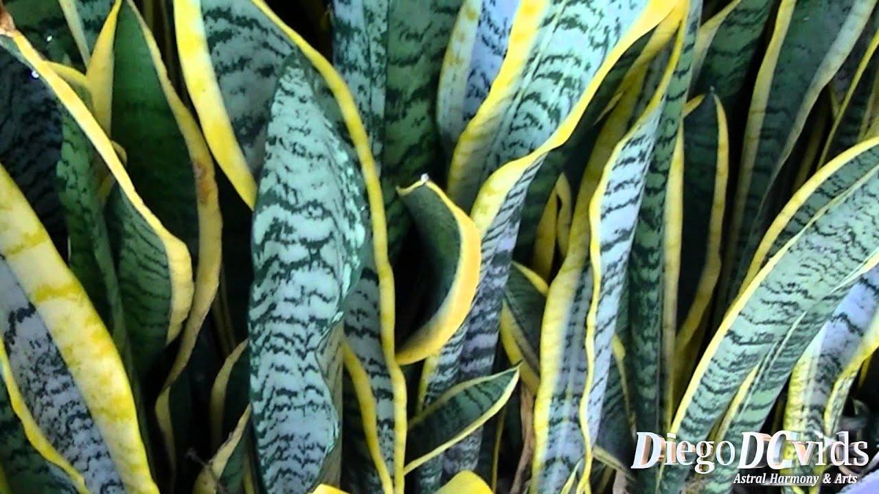 Sansevieria Trifasciata Laurentii Snake Plant Espada De
