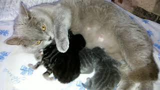 Кошка мама кормит детей,  как выглядят новорожденные котята на третий день жизни.