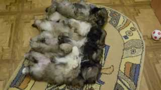 Пекинеса щенков с родословной продам