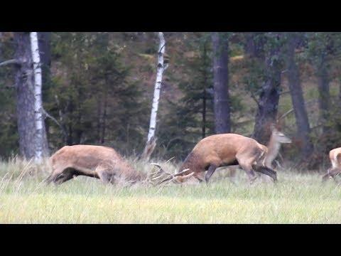 Mule Deer 2018 - fight