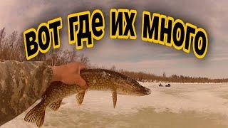 Ловля щуки Рыбалка 2021 весной Жерлицы часть 1