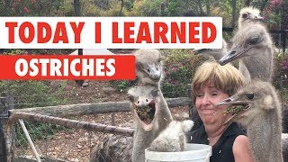 Today I Learned: Ostrich