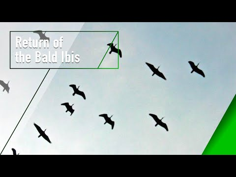Return of the Bald Ibis - The Secrets of Nature