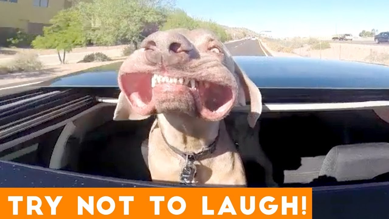 Try Not To Laugh Funniest Animal Compilation August 2018 | Funny Pet Videos