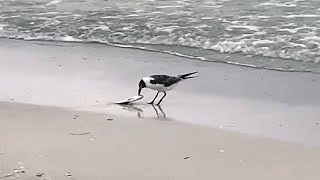 Florida's seabirds suffer after eating fish killed by red tide