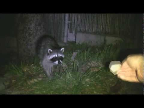 Feeding The Racoons