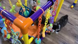 Heavenly Havanese Puppies Play Time!