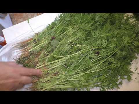Об использовании и пользе молодой морковной ботвы | организма | морковная | гипертони | свойства | лечебные | полезна | моркови | зелёная | чистки | ботвой