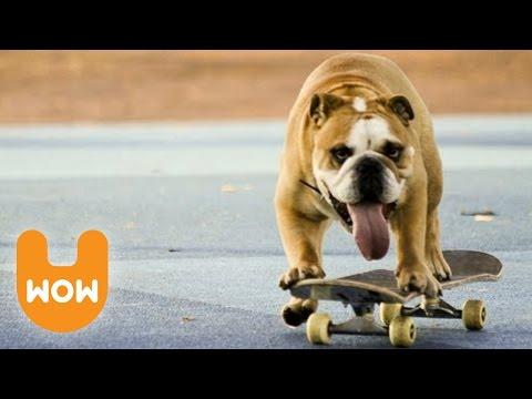 Biuf the Skateboarding Bulldog