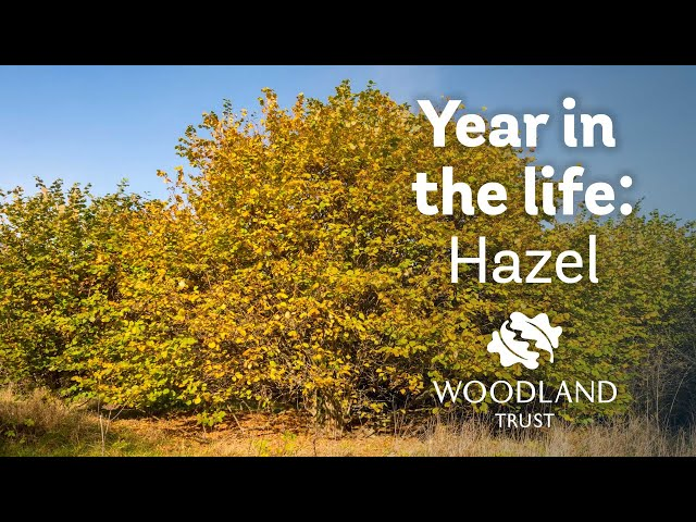 A year in the life of a hazel tree