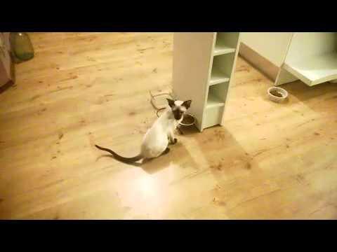 Talking oriental siamese kitten Tihon