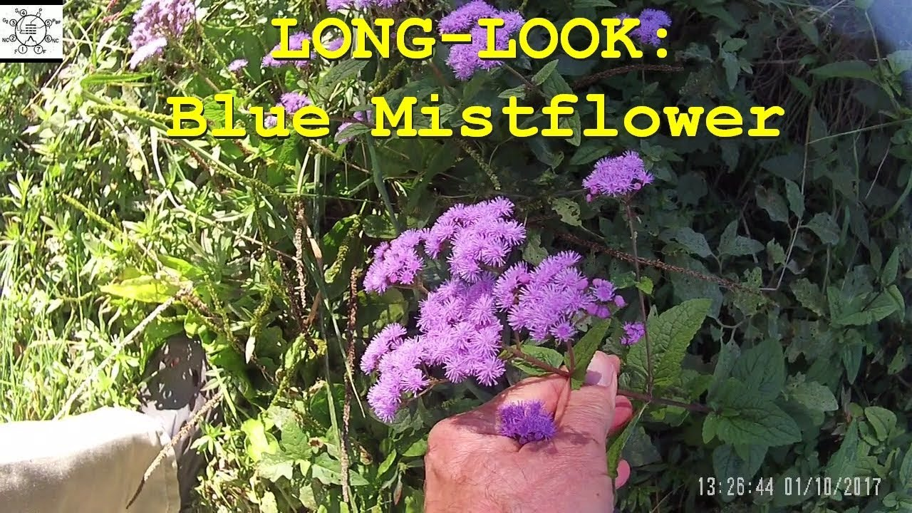 Long look blue mistflower youtube long look blue mistflower izmirmasajfo