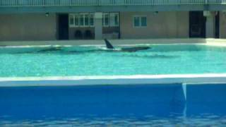 Killer whale swimming circles in tiny tank at Sea World