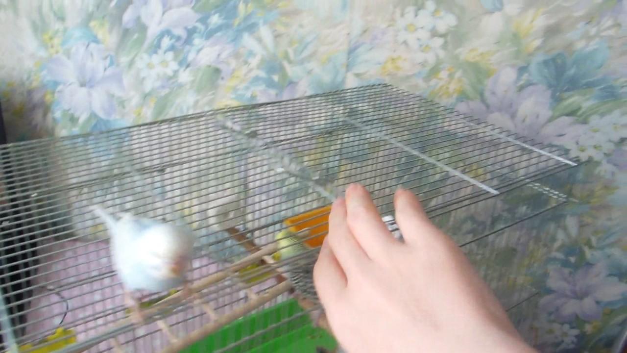 Попугайчики! Видео по запросу для Алины!) Ручные волнистые .