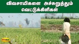 விவசாயிகளை அச்சுறுத்தும் வெட்டுக்கிளிகள் | Pakistan Farmers | Grasshopper