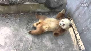 躺着跳舞的棕熊猫七仔(20131126) Giant Panda Qi Zai