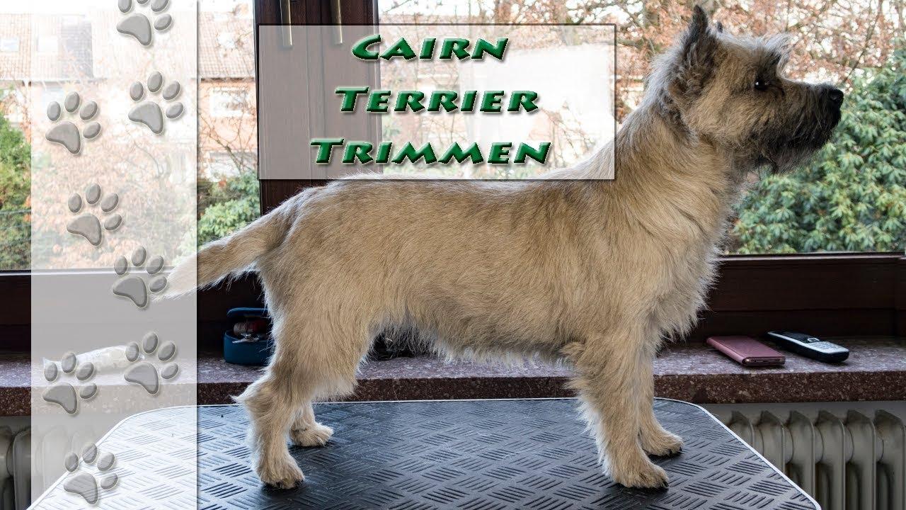 Was Bedeutet Trimmen Cairn Terrier Hundekanal Youtube