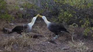 Galapagos Albatross Mating Dance