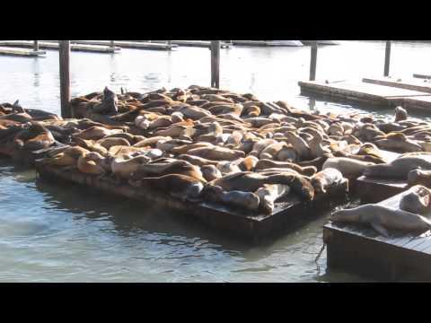 Sea Lions making funny Sound - Pier 39 - Fisherman's Wharf - San Francisco