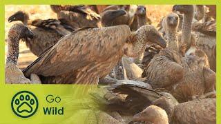 Vultures - Africa