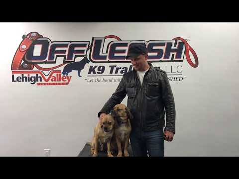 wescosville-dog-trainers-|||-olk9-lehigh-valley-|||-1-year-old-puggle,-doc