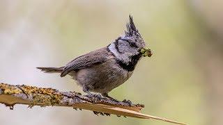 Хохлатые синицы, или гренадерки, выкармливают потомство. Lophophanes cristatus.Птицы Беларуси.