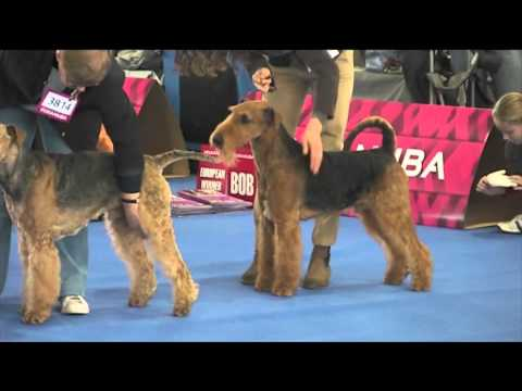 Airedale Terrier EURO DOG SHOW  | 2014 Brno