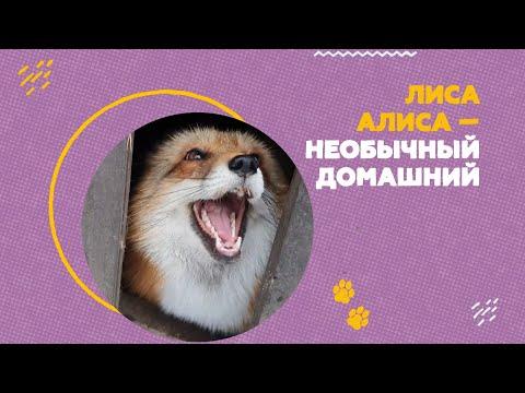 В Подмосковье ручная лиса Алиса живёт с собаками